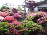 20150505躑躅庭園 015.JPG
