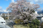 安富桜0329.jpg