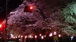 大宮の桜並木.jpg