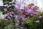 中庭のミツバツツジ0904.jpg