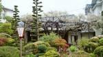 中庭の紫藤090420.jpg