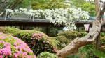 中庭の白藤090420.jpg