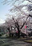大宮の桜並木110410.JPG