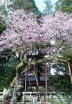清州桜110407.JPG