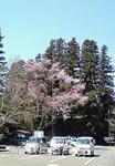 長姫神社の桜110406.jpg