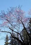 長姫神社の桜2.jpg